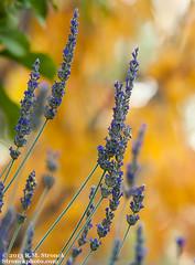 Fall colors -Mexican sage (Bob Stronck) Tags: autumn flora sanmateocounty mexicansage stronckphotocom ©2013rmstronck