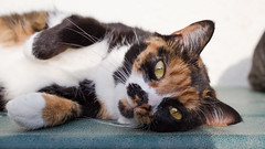 Felice (No_Water) Tags: cat calico felice
