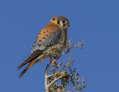 American Kestrel (Explored) (Eric Gofreed) Tags: arizona americankestrel kestrel chinovalley yavapaicounty avianexcellence