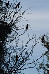 A Gathering (Misshoney1) Tags: tree birds cormorant lakeskinner lauraphotos