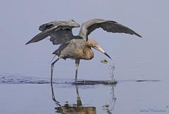Reddish Egret (Andrew's Wildlife) Tags: