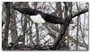 The Eagle Has Landed! (Tustin Designs) Tags: winter bird nature female nest baldeagle raptor february 2014 southwesternpa dailynaturetnc12