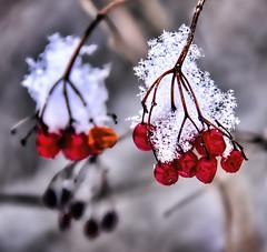 Fresh Snow (Wes Iversen) Tags: winter snow nature berries redberries hss nikkor18300mm sliderssunday