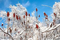 sumac winter celebration (blacqbook) Tags: trees winter red sky snow toronto nature beauty fruit ilovenature outdoors frozen branches sumac shrub icicles blacqbook whiteblue staghornsumac