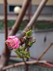 Fiore di pesco (mirkopizzaballa) Tags: primavera rosa sole fiore frutta pianta pesco fioritura uploaded:by=flickrmobile flickriosapp:filter=nofilter