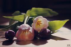 In the morning light (KlaudiaKatona) Tags: morning flowers light nature spring purple floor tulips violet prink