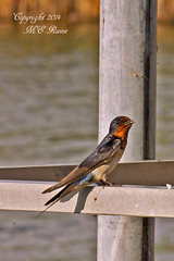 Barn Swallow Guarding nearby Nest (See the Baby Series) at Richard DeKorte Park (Meadowlands), Lyndhurst, NJ (takegoro) Tags: new nature birds animals wildlife meadowlands parent wetlands marsh swallow jersey richarddekortepark barn swallow lyndhurst