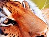 Siberian Tiger of Nogeyama Zoo / 野毛山動物園のアムールトラ (Dakiny) Tags: park animal animals japan mammal zoo march photo spring nikon tiger photograph tamron kanagawa siberiantiger 野毛山動物園 動物 公園 動物園 神奈川 2014 春 写真 神奈川県 3月 虎 トラ 西区 野毛山公園 felids アムールトラ シベリアトラ タムロン kanagawaprefecture a005 ほ乳類 ネコ科 横浜市 nogeyamazoo 哺乳類 nogeyamapark d5100 mygearandme modela005 2014年 横浜市立野毛山動物園 nishiword