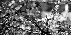spring (mgkm photography) Tags: flowers blackandwhite naturaleza black flores primavera portugal nature monochrome photography photo spring nikon bokeh natureza sintra gimp sigma pretoebranco bnw blackandwhitephotography azenhasdomar blackwhitephotos ptbw ilustrarportugal d3100 igersportugal bnwportugal