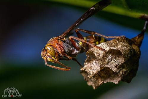 Angry Wasp by L@uReNCiO, on Flickr