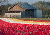 Rows of Red, White and Yellow Tulips (Bridget Calip - Alluring Images) Tags: flowers clouds oregon barn botanical outdoors petals spring flora tulips farm symmetry silo rows valley pacificnorthwest fields northamerica bulbs botanic blueskies agriculture johndeere lonetree woodburn woodenshoetulipfarm 2013 floralbackground pinktractor bridgetcalip