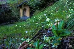 SPRUZZATA (Lace1952) Tags: primavera italia pov piemonte fiori primule prato masera vco ossola spruzzata nikkor18300vr nikond7100 cappelleta