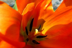 """For my brother, Bobby, on his birthday! (peggyhr) Tags: friends orange sunlight canada black green dedication vancouver shadows bc bokeh cream harmony tulip homegrown thegalaxy 25faves perfectpetals peggyhr heartawards flickrawardgroup peaceawards 100commentgroup level1photographyforrecreation floraaroundtheworld thegalaxyhalloffame ►thebestshots◄level1 visionaryartsgallery1 loveitl1 blinkagainl1 super~six☆stage1☆bronze redlevelno1 super~six☆stage2 frameit~level01~ niceasitgets~lev1 l~1passionforflowers infinitexposurel1 infinitexposurel2 infinitexposurel3 p1080509a """"beautifulearth–leveli"""" """"thebestofbeautifulearth–levelii"""""""