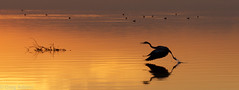 Salton Sea Sunset V (Greg Adams Photography) Tags: california ca winter light sunset sea lake reflection bird heron nature silhouette reflections gold golden movement twilight dusk wildlife flight silhouettes calif wilderness southerncalifornia splash avian saltonsea 2014 hhsc2000