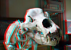Ursus Spelaeus 3D (wim hoppenbrouwers) Tags: haarlem skeleton 3d head anaglyph stereo ursus teylersmuseum redcyan spelaeus ursusspelaeus holenbeer