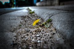 Living on the Edge (PKub) Tags: street flowers plant flower green nature fleur colors leaves yellow jaune plante landscape photography grey gris photo leaf flora photographie mud image couleurs strasse snapshot natur pflanze picture grau blumen vert dandelion gelb grn blume paysage blatt rue landschaft bltter sludge ooze schmutz feuille farben mire dreck schlamm schlick matsch pissenlit salet lwenzahn sumpf 2015 nikond5100 pkub