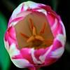Tulip (Deb Jones1) Tags: nature square 1 jones bokeh explore deb flickrduel pinkflowerflowersfloragardengardensbloomspinkflowerstulipmacrocloseuppinktulipcanonbeautyoutdoors debjones1