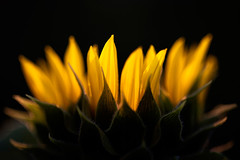 """Helianthus Annuus"" (helmet13) Tags: flower macro nature closeup flora raw blossom bokeh sunflower gettyimages selectivefocus aoi helianthusannuus 100faves peaceaward heartaward platinumheartaward world100f platinumpeaceaward d800e"
