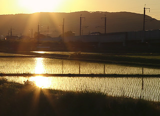 Rice field and the utility pole