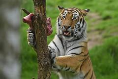 JDW_4968-1 (John.Walton) Tags: asian scotland highlands asia wildlife tiger highland carnivore kingussie amurtiger highlandwildlifepark