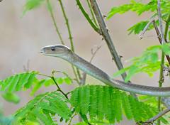 Black Mamba (Dendroaspis polylepis) juvenile (under 2m...) (berniedup) Tags: lowersabie kruger blackmamba dendroaspispolylepis snake mamba taxonomy:binomial=dendroaspispolylepis