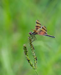 _DSC6260 (aeschylus18917) Tags: danielruyle aeschylus18917 danruyle druyle ダニエルルール america florida insect odonata dragonfly libellulidae celithemiseponina halloweenpennant 200500mm
