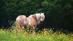 Dream Girl (Daphne-8) Tags: mare stute haflinger horse pony pferd brown sorrel braun fuchs mane mahnen frühling spring flowers yellow gelb bluhmen wiese weise pasture field beauty animal tier cheval caballo