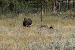 "Bison • <a style=""font-size:0.8em;"" href=""http://www.flickr.com/photos/63501323@N07/32866168764/"" target=""_blank"">View on Flickr</a>"