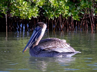 Brown Pelican, Red Mangrove