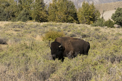 "Bison • <a style=""font-size:0.8em;"" href=""http://www.flickr.com/photos/63501323@N07/33131692960/"" target=""_blank"">View on Flickr</a>"