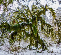 Rainforest in Winter (Don Jensen) Tags: hoh rain forest rainforest green moss snow winter olympic national park washington forks cold