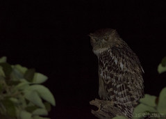 Brown Fish Owl. (Vikas.B.Chavan) Tags: nikond7100 afsnikkor300mmf4difed nikontc17eii brownfishowl ketupazeylonensis