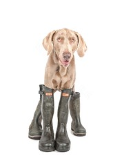 Omar Versus the Wellies (Chris Willis 10) Tags: omar dog hunter wellies weimeraner