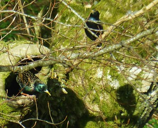 Starlings try to protect nest from jackdaws