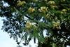 Albizia chinensis flowers (J. B. Friday) Tags: albizia albiziachinensis fabaceae