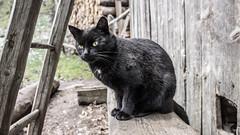 DSC00058 (Kubo_J) Tags: kvačianska dolina slovakia liptov sony black cat crna