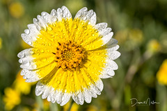 Good Morning Tidy Tips (Dave Miller Photography) Tags: morningdew wildflowers macro tidytips waterdroplets shellcreekrd