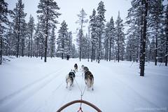 IMG_2331 (F@bione©) Tags: lapponia lapland marzo 2017 husky aurora boreale northenlight circolo polare artico rovagnemi finalndia finland
