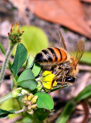 Busy as a bee (donjuanmon) Tags: donjuanmon cliches clichesaturday hcs bee stripes macro