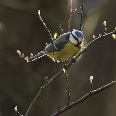 Blåmeis - Cyanistes caeruleus - Blue Tit - D8E_0067 (Viggo Johansen) Tags: blåmeis cyanistescaeruleus bluetit birds winter