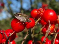 Hairy shieldbug (rockwolf) Tags: hairyshieldbug pentatomidae dolycorisbaccarum punaise hemiptera heteroptera insect rowan berries thebog shropshire rockwolf