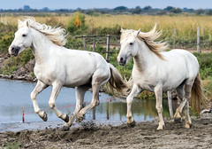 2016 Best Two Camargue Stallions (16) (maskirovka77) Tags: saintlaurentdaigouze languedocroussillonmidipyrén france languedocroussillonmidipyrénées fr stallion stallions createaway