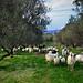 Olive tree near Vuves