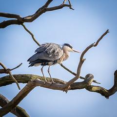 Fluffed up ! (DP the snapper) Tags: heron shropshire birds dudmaston tree