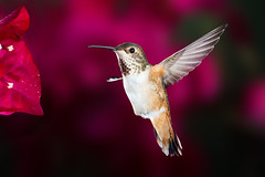 Happy Birthday, Diane G!!! (Patricia Ware) Tags: allenshummingbird backyard birdsinflight bougainvillea california canon ef500mmf4lisusm manhattanbeach multipleflash selasphorussasin tripod httppwarezenfoliocom ©2016patriciawareallrightsreserved specanimal