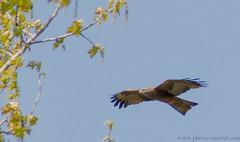 Busard des roseaux --- (kahem54) Tags: roseaux busard rapace vol ciel busarddesroseaux animal plumage nature