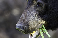Grass eating time (begineerphotos) Tags: bear portrait grass closeup canon alberta blackbear banffnationalpark