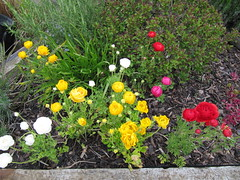 Ranunculus (wallygrom) Tags: england westsussex ranunculus angmering manornursery manornurseries