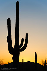 Sonoran Desert [5742] (josefrancisco.salgado) Tags: sunset arizona cactus usa southwest silhouette cacti atardecer us flora nikon desert tucson unitedstatesofamerica cielo desierto silueta saguaro nikkor ocaso sonorandesert cacto puestadelsol d4 tucsonmountainpark desiertodesonora 70200mmf28gvrii