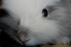 Theo (lionhead bunny) (Brown Dog Pet Photography) Tags: cambridge rescue pets white cute apartment best foster exotic animalrescue l cambridgemass shelter bestfriend adopt adoption shelterpet brokentailrescue
